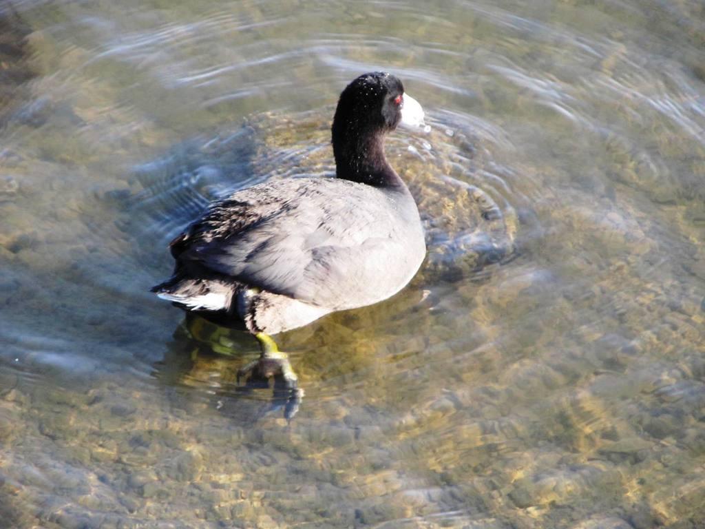 Birds_oystercatcher