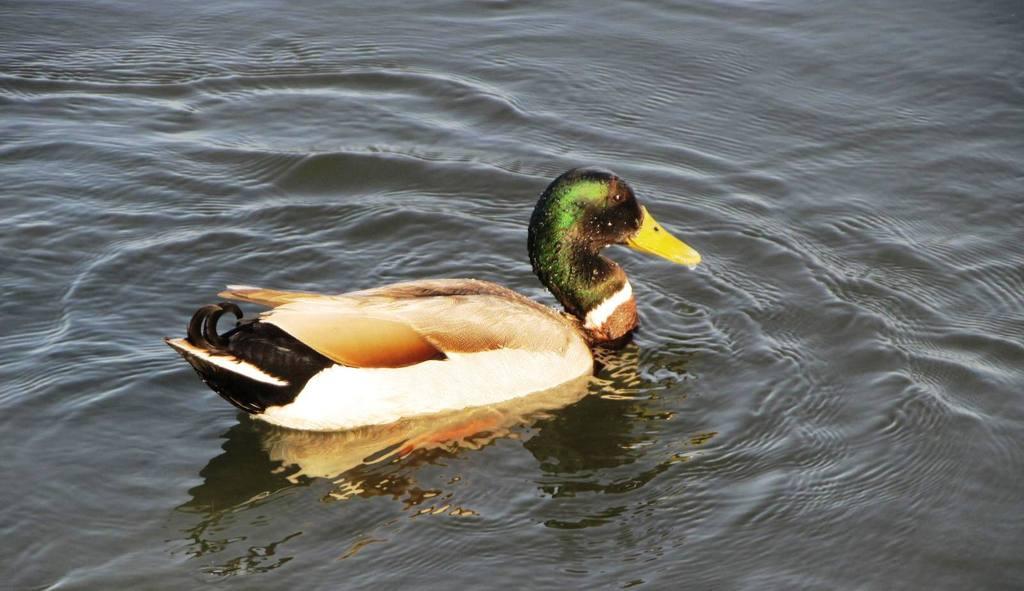 Waterfowl-1