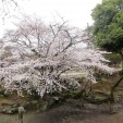 More cherry blossom pics